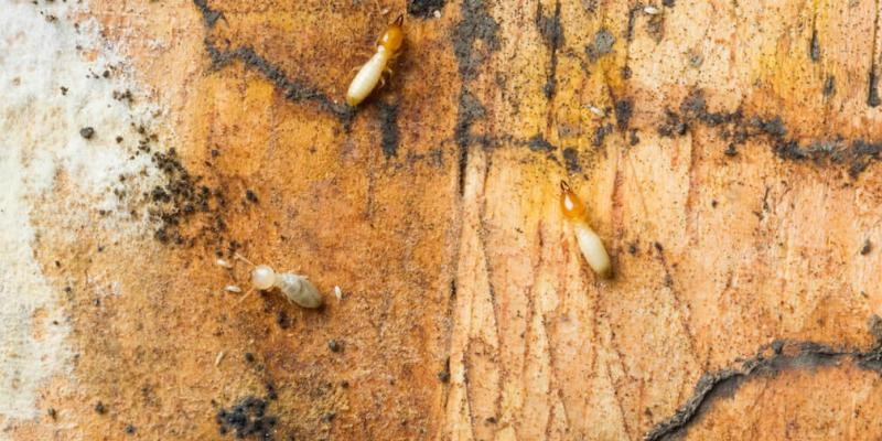 6 Signs Of A Termite Infestation Delta Pest Services Blog